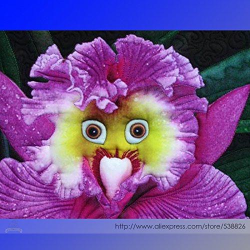 l'orchidée du monde Baby Face Rarest vivace Fleur Graines, Paquet professionnel, 100 graines/Pack, Bonsai Garden New Seeds # NF940
