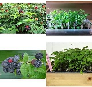 Raspberry Plants Mysore Black RASP Includes Four 4 Plants 3-5 inches Tall Garden