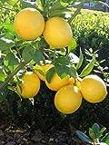 pianta di limone di Zagara Bianca Altezza REALE 180cm 2 anni di età