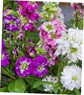TYU Mix of Colors Matthiola Incana Ten Week Flower Seeds - LY2210 (100 Seeds)