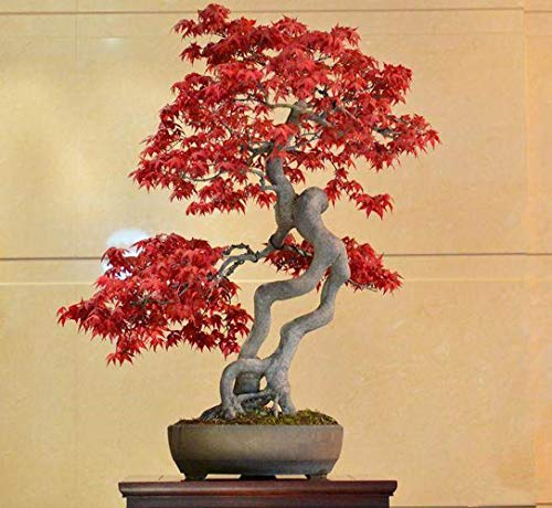 30 Pcs Red Maple Tree Seeds Acer Palmatum Seeds Plants for Beautiful Bonsai Seeds Home Balcony Decor Plant