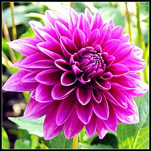 Dahlien Knollen Winterhart,Garten,Balkonpflanzen,Blumen,In Ihrem Garten Wachsen Hartnäckige Pflanzen, Elegante Und Schöne Modische Blumen-Rosa,2 Zwiebeln
