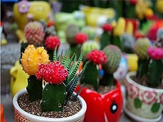 Mezcla de semillas de cactus Echinopsis, semillas de flores, de alta germinación - 20 partículas de semilla