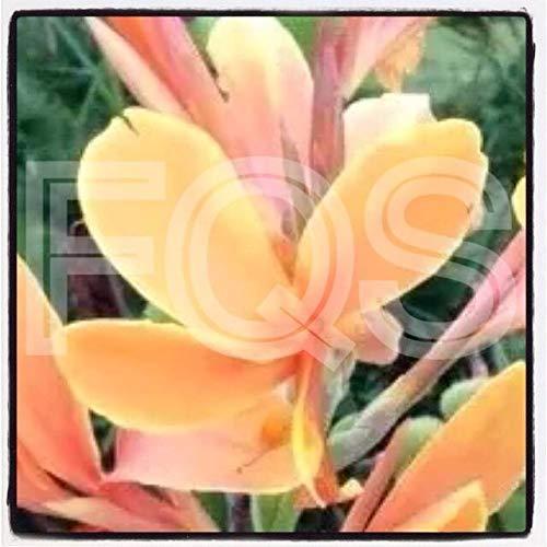 Portal Cool 15 X Tropical Canna Seeds Peach/gelbe Blume
