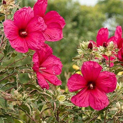 Rose Pink Hibiscus 100 Seeds Perennial Seed Flower Garden Exotic Hardy - Ship from US by US Seller.