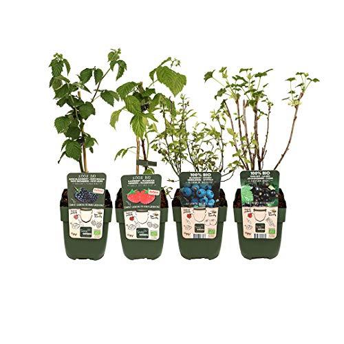 Mein schöner Garten Bio Beeren-Set –Bestehende aus Himbeere Blaubeere Brombeere und Schwarze Johannisbeere – Beeren Strauch für Garten, Terrasse und Balkon – Beeren-Set mehrjährig und immergrün