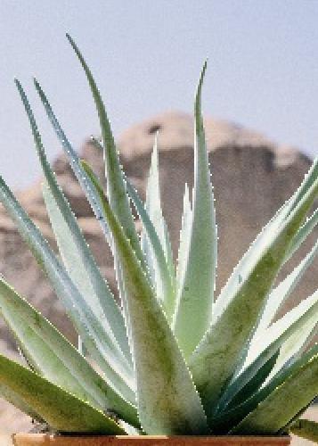 TROPICA - Aloe vera (Aloe vera syn. Aloe barbadensis Mill.) - 10 graines- Méditerranée