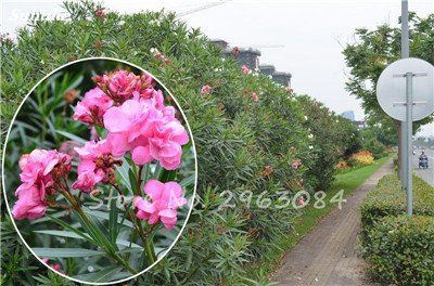 100 Pcs Nerium Oleander Flower Look Seed Tout comme les plantes Rose Fleur Bonsai jardin Arbre Quatre Saisons fleurs vivaces Easy Grow 13