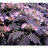 Albizia Purple Mimosa Summer Chocolate Tree 6 Seeds Plant R1