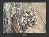 1art1 National Geographic - Tiger, Malaysia Poster