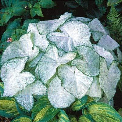 SVI frais de Thaïlande Caladium fleur SEED pour la plantation rose 4
