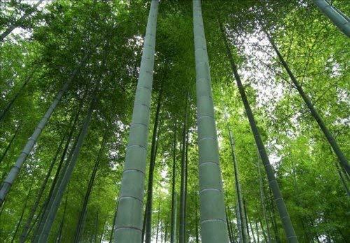 Phyllostachys edulis « Moso » Graines de bambou graines fraîches 100+
