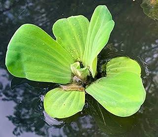 comprar comparacion Agua Lechuga - flotante viven plantas acuáticas de exterior