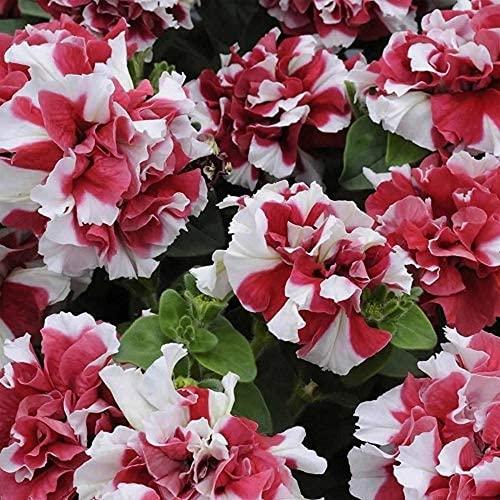 200 pezzi di semi di petunia di colore misto colori rosso e bianco unici petali multipli sono decorazioni da giardino accattiva