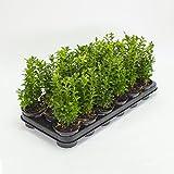 Inter Flower -20 Buchsbaum Pflanzen im Topf, Buxus sempervirens, Höhe: 15-20 cm, Heckenpflanzen, Gartenpflanzen