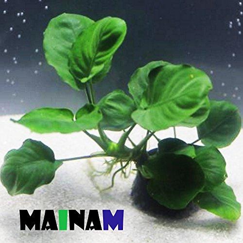 Mainam Anubias Barteri Coin Leaves Live Aquarium Plants Freshwater Rhizome 3 Days Live Guaranteed