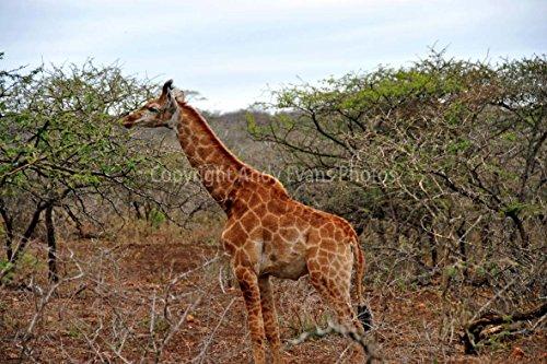 ein 45,7 x 30,5 cm Fotodruck A Southern Giraffe die Giraffe Giraffe (Sternbild) die Giraffe in Zulu Nyala Game Reserve Südafrika