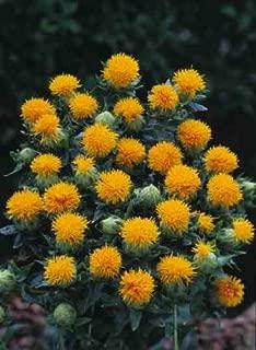 300 SAFFLOWER Saffron Carthamus Tinctorius Yellow Orange Flower Seeds *Comb S/H