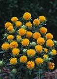 300 semi di cartamo Carthamus tinctorius Zafferano giallo arancione Fiore * Comb S/H