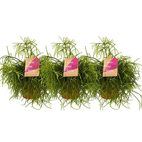 Nachhaltig produzierte Zimmerpflanze von...