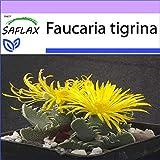 SAFLAX - Kakteen - Echter Tigerrachen - 40 Samen - Faucaria tigrina -