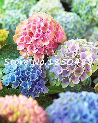 100pcs / sac de graines de hortensia, couleurs mélangées, balcon en pot, la plantation est simple, le bourgeonnement taux de 95%, l'absorption de rayonnement