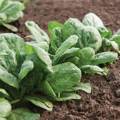 David's Garden Seeds Spinach Gazelle 4339 (Green) 500 Non-GMO, Hybrid Seeds