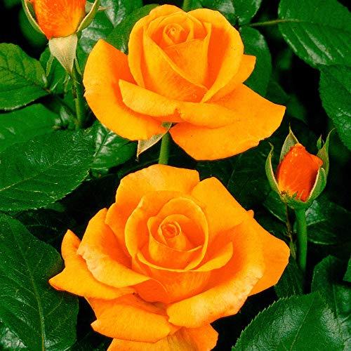 SummerRio Garten-60 Pcs Selten Rosen Samen Bunte Blumensamen Winterhart Mehrjährig Pflanzensamen für Garten Balkon