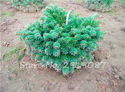 Colorado mixtes Graines de sapin Coloful Spruce Graines Picea arbre en pot Bonsai Cour Jardin Bonsai usine Pine Tree Seeds 100 Pcs 13