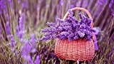 Semillas lavanda para plantar jardines exóticos naturales de alto rendimiento.-100 pcs
