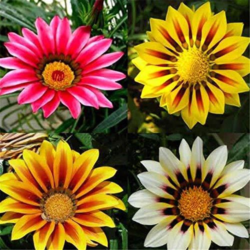 Eastbride Wildblumenwiese,Mehrjährige Medaillon Chrysanthemen Samen-100 Kapseln,Blumensamen winterhart mehrjährig
