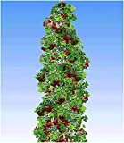 BALDUR Garten Japanische Säulen-Himbeeren,1 Pflanze, Japanische Weinbeere, Rubus phoenicolasius Hybride Säulenobst