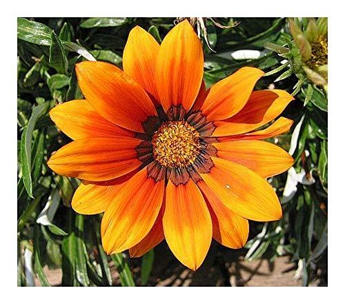 Gazania krebsiana orange - Gazanie orange - 10 graines