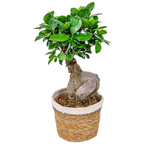 Bonsai Baum | Ficus 'Ginseng' pro Stück mit dekorativem Korb - Zimmerpflanze cm17 cm - 35 cm