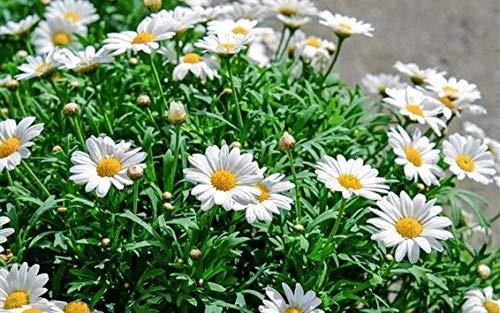 Puzzels 1000 stuk voor volwassenen Kinderen Witte margriet Bloeit in het voorjaar Houten cadeaus voor kinderen Puzzel Decompressie Decoupeerzagen