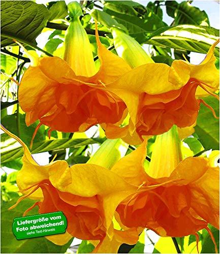 BALDUR Garten Engelstrompete Sunexplosion, 1 Pflanze Brugmansia Datura