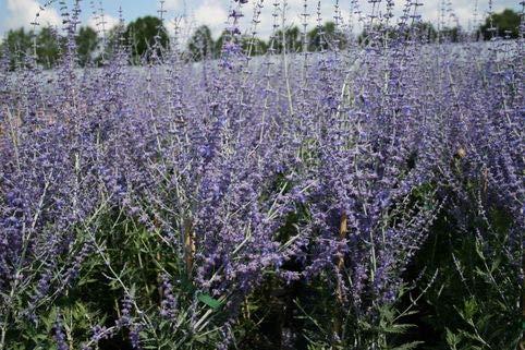 Keland Garten - Raritäten duftend Blauraute 'Blue Spire' Russischer Salbei bienenfreundlicher Zierstrauch, Afghanischer Lavendel Silberbusch Blumensamen winterhart mehrjährig