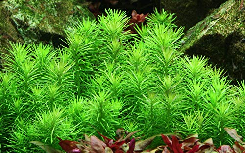 Tropica Aquarium Pflanze Pogostemon erectus Nr.053F TC in Vitro 1-2 Grow Wasserpflanzen Aquariumpflanzen