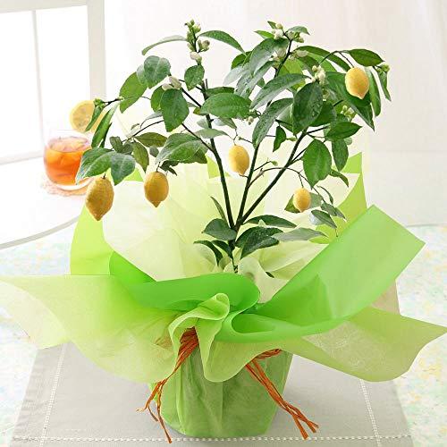 父の日 果樹鉢「レモン」 2021【花 生花 ギフト プレゼント 鉢植え 果物 フルーツ 柑橘 収穫】