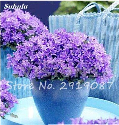 50 Pcs Campanula Graines rares Fleur Plante en pot Couleurs mélangées 95% Taux de bourgeonnement vivaces Plantes Bonsai Maison et Jardin 5
