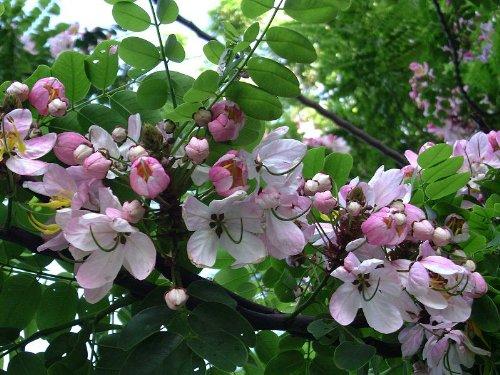 50 semillas de cassia javanica, semillas de casia de Java, semillas de casia de manzana, cassia asinte, semillas de casia rosa, semillas de árbol de ducha rosa