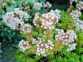 sedum coral carpet