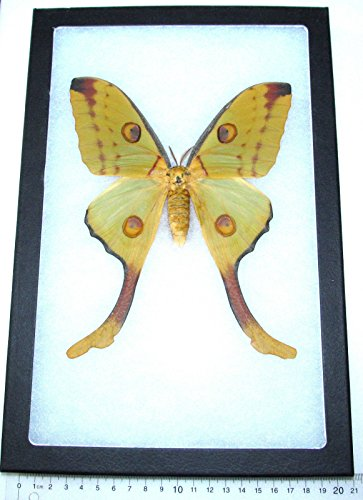 BicBugs Real Framed Comet Luna Moth ARGEMA MITTREI Female Indonesia
