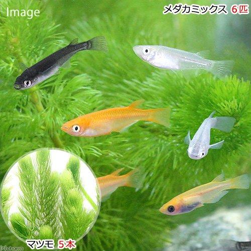 (めだか)(水草)メダカ初心者セット メダカミックス(6匹)+マツモ(5本)