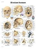 3B Scientific VR3131L Póster anatómico, el Cráneo Humano