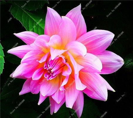 Double Dahlia Seed Mini Mary Fleurs Graines Bonsai Plante en pot bricolage jardin odorant fleur, croissance naturelle de haute qualité 50 Pcs 1