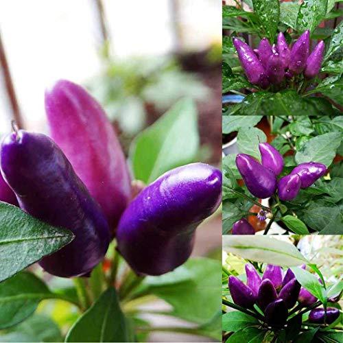 Fenido Samenhaus 50Pcs/ beutel Lila Chili Samen Garten Ornament Essbare Pfeffer Bonsai Gemüse Gemüse