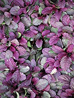 ajuga burgundy glow seeds