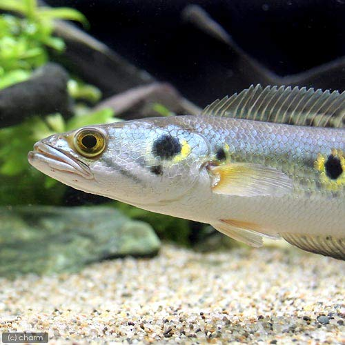 (熱帯魚)オセレイト・スネークヘッド 18~24cm(1匹) 沖縄別途送料 北海道航空便要保温