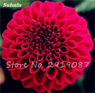 50 Pcs rares Graines Bonsai Dahlia (non Dahlia Bulbes) Mixte magnifique Fleurs chinois Balcon Plante en pot Maison et Jardin 4